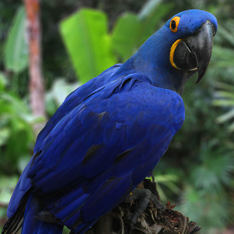 Young Hyacinth Macaws - The Parrot Farms